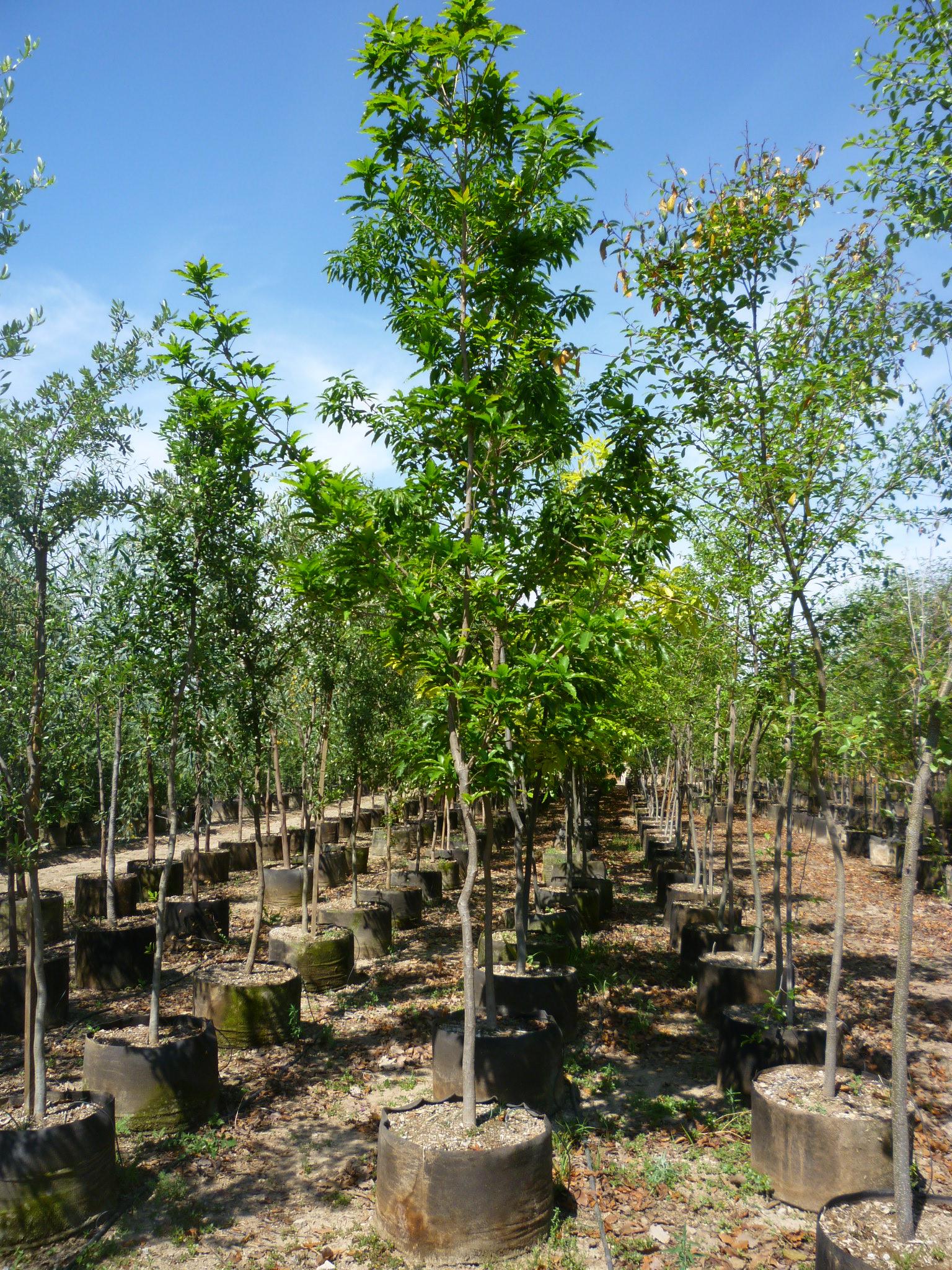Productos viveros productores de guanajuato vpg for Vivero arboles grandes