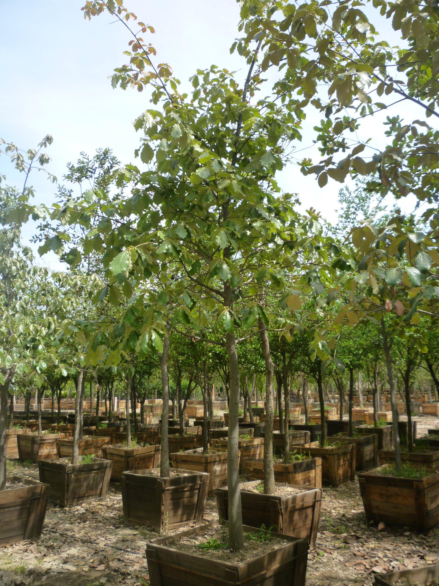 Viveros productores de guanajuato vpg viveros en for Viveros de arboles en madrid