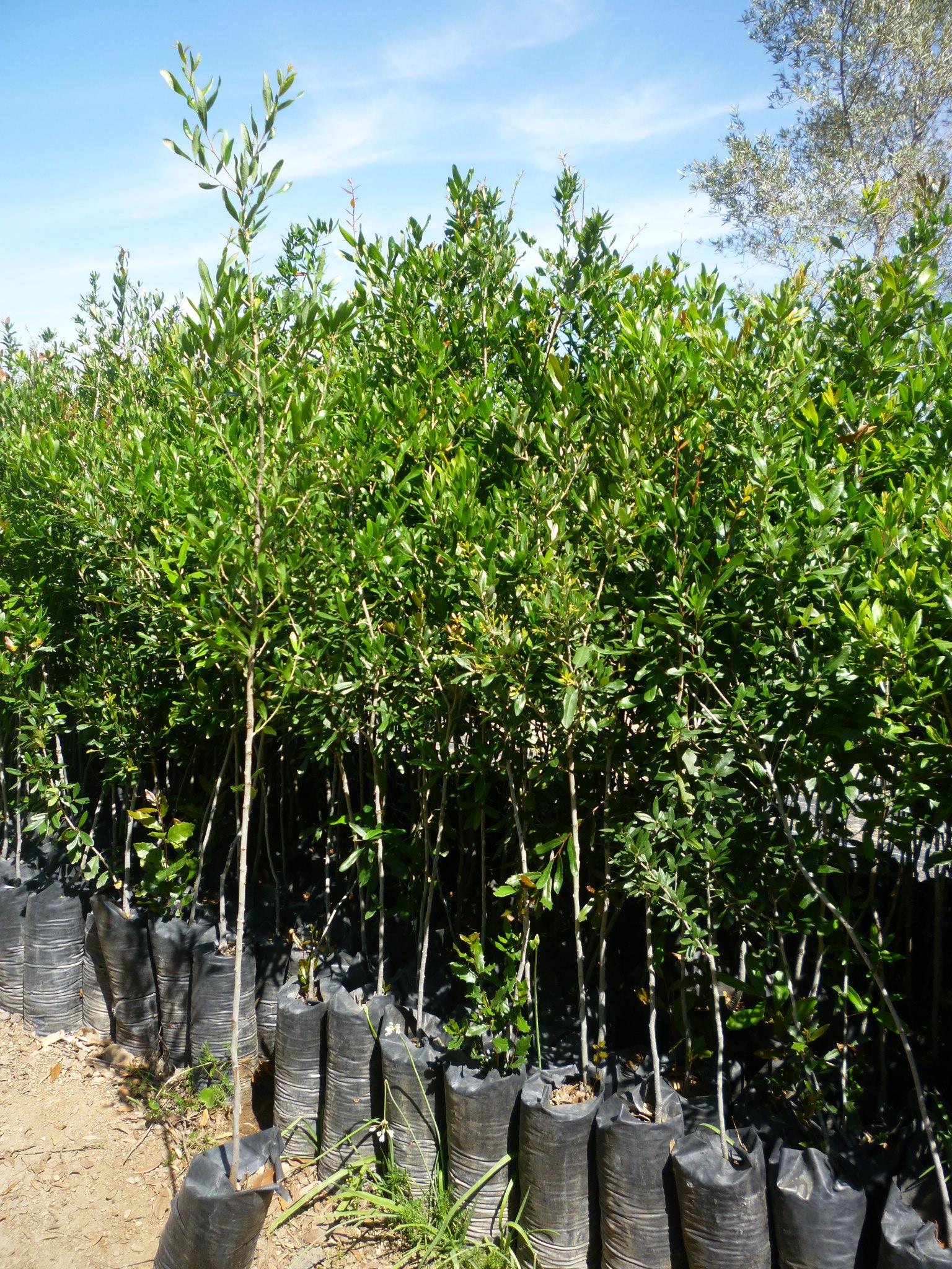 productos viveros productores de guanajuato vpg